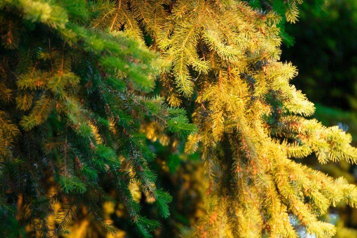 Golden Branch