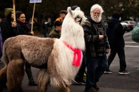 Caesar the No Drama Llama and Larry McCool Marches down Market Street.
