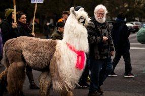 Caesar the No Drama Llama and Larry McCool Marches down Market Street.